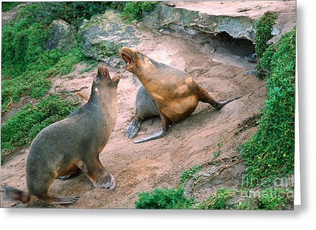Australian Sea Lion Greeting Cards - Australian Sea Lions Greeting Card by Gregory G. Dimijian, M.D.