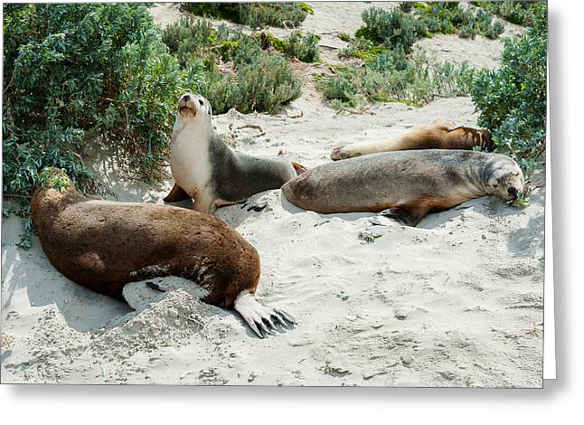 Sea Lions Greeting Cards - Australian Sea Lions Neophoca Cinerea Greeting Card by Panoramic Images