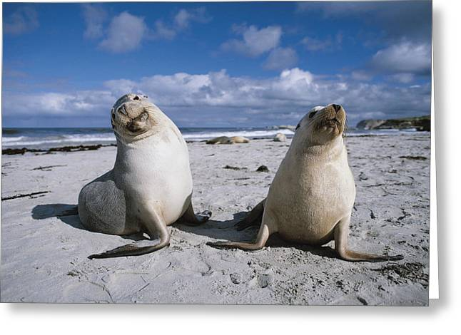 Sea Lions Greeting Cards - Australian Sea Lions On Beach Kangaroo Greeting Card by Hiroya Minakuchi