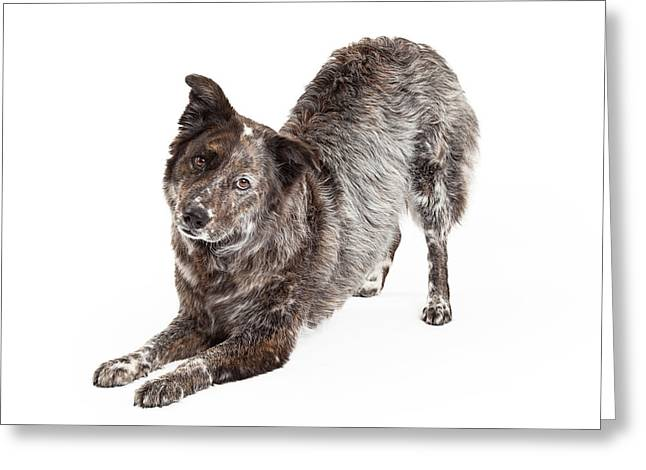 Full-length Portrait Photographs Greeting Cards - Australian Shepherd Mix Breed Dog Bowing Greeting Card by Susan  Schmitz