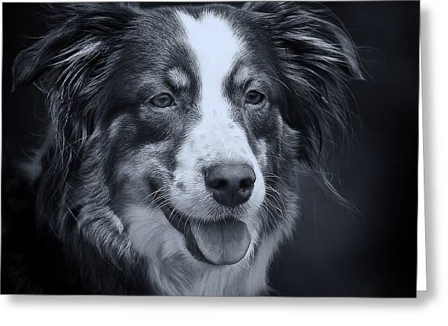 Dog Photographs Greeting Cards - Australien Shepard bw  Greeting Card by Angela Doelling AD DESIGN Photo and PhotoArt