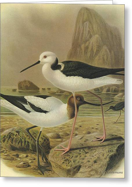 Audubon Greeting Cards - Australilan Avocet Pied Stilt and Black Stilt Greeting Card by J G Keulemans