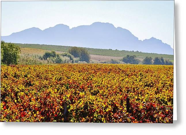 Stellenbosch Greeting Cards - Autum wine field Greeting Card by Werner Lehmann