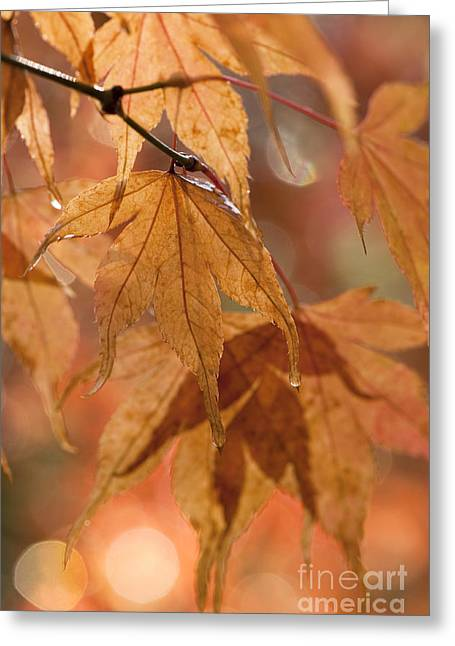 Close Focus Nature Scene Greeting Cards - Autumn Acer Greeting Card by Anne Gilbert