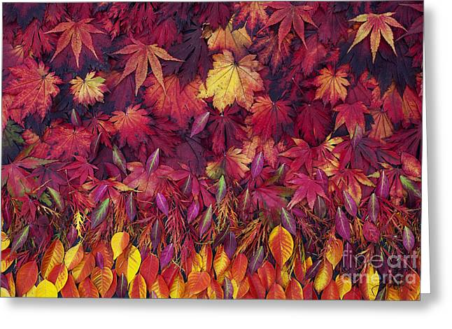 Changing Colour Greeting Cards - Autumn Acer Leaves Pattern Greeting Card by Tim Gainey