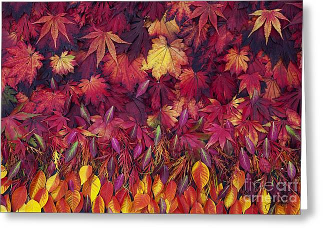 Vivid Colour Greeting Cards - Autumn Acer Leaves Pattern Greeting Card by Tim Gainey