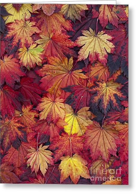 Vivid Colour Greeting Cards - Autumn Acer Leaves Greeting Card by Tim Gainey