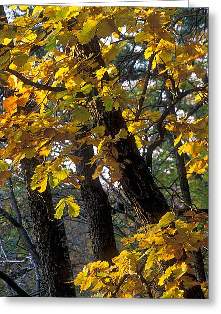 Yellow Leaves Greeting Cards - Autumn Greeting Card by Anonymous