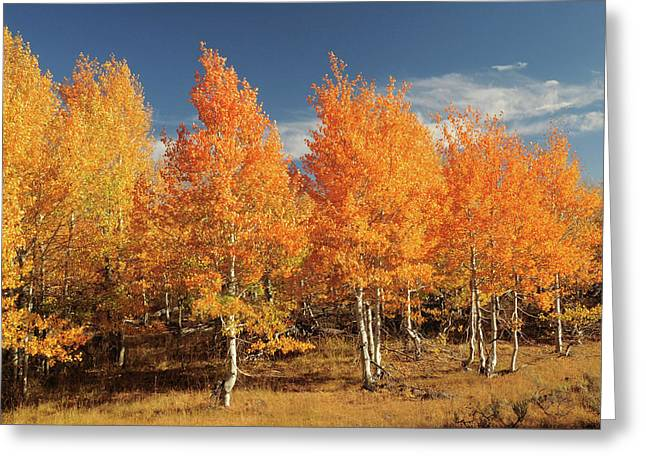 Autumn Aspens, Steens Mountain Greeting Card by Michel Hersen