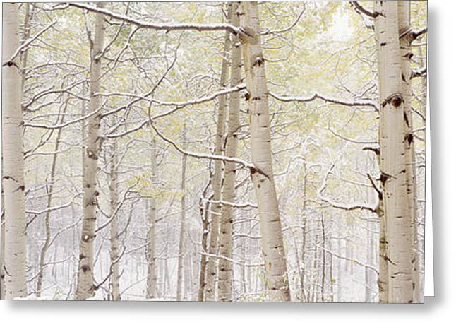 Tree Lines Greeting Cards - Autumn Aspens With Snow, Colorado, Usa Greeting Card by Panoramic Images