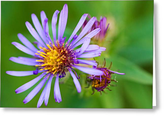 Asters Greeting Cards - Autumn Aster Greeting Card by Steve Harrington