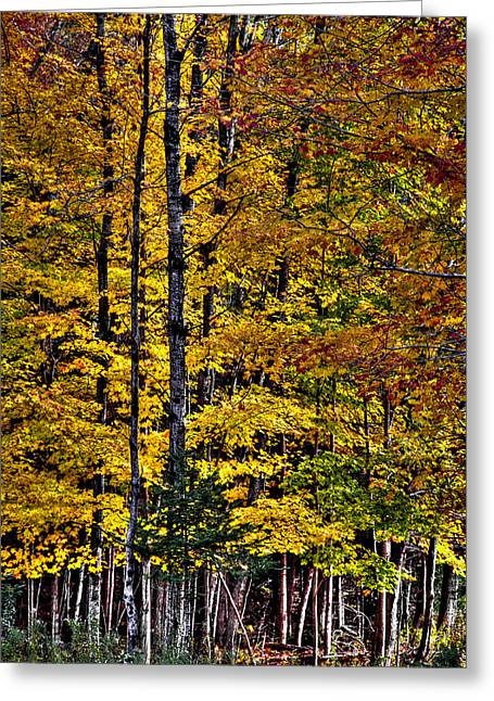 Fir Trees Greeting Cards - Autumn at Eagle Bay Greeting Card by David Patterson