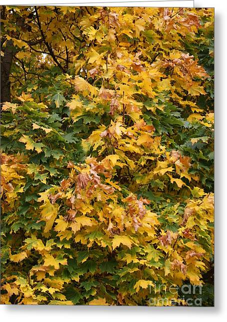 Turning Leaves Greeting Cards - Autumn Beauty 1 Greeting Card by Carol Lynch