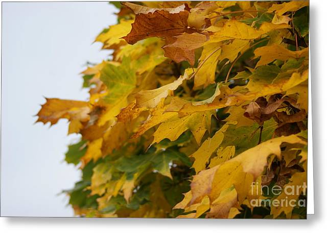 Turning Leaves Greeting Cards - Autumn Beauty 6 Greeting Card by Carol Lynch