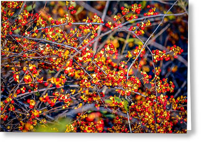 Auburn Ma Greeting Cards - Autumn Berries Greeting Card by Black Brook Photography