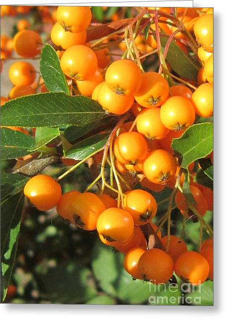 Creepers Greeting Cards - Autumn Berries Pyracantha Greeting Card by John Clark