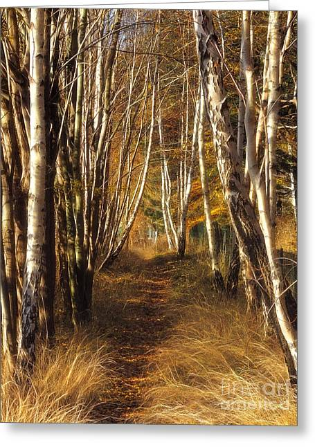 Photoart Greeting Cards - Autumn Birches Greeting Card by Lutz Baar