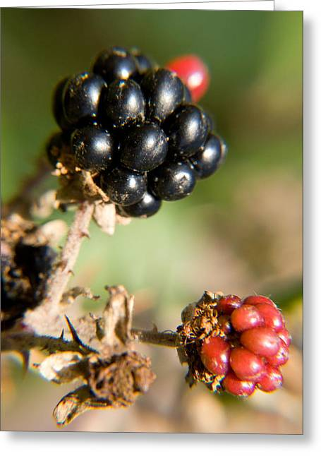 Photos Of Autumn Greeting Cards - Autumn Blackberries Greeting Card by Dave Byrne
