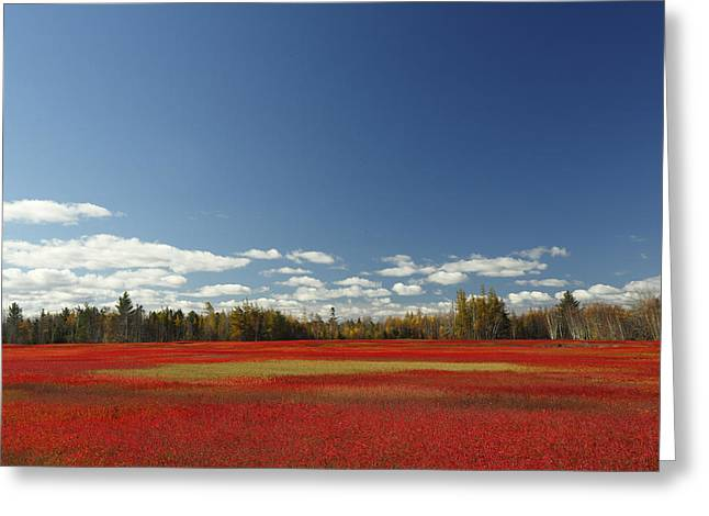 Autumn Blueberry Field Maine Greeting Card by Scott Leslie
