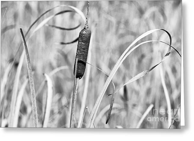 Bulrushes Greeting Cards - Autumn Cattails Black and White Greeting Card by Thomas R Fletcher