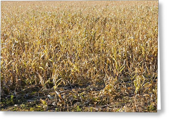 Maine Landscape Greeting Cards - Autumn Cattle Silage Corn In Maine Greeting Card by Keith Webber Jr
