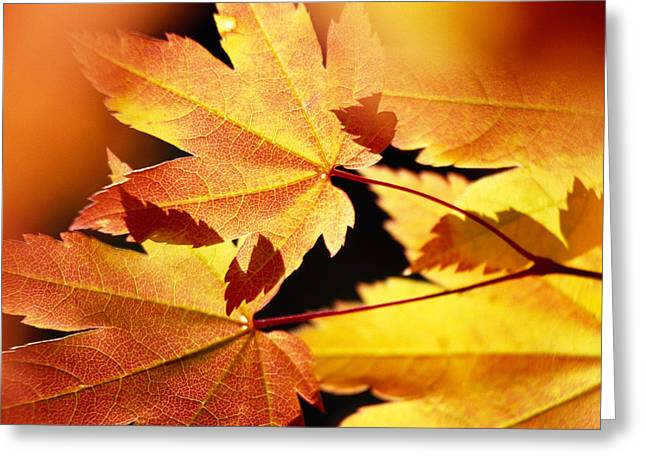 Colors Of Autumn Greeting Cards - Autumn Color Vine Maple Tree Leaves Greeting Card by Panoramic Images