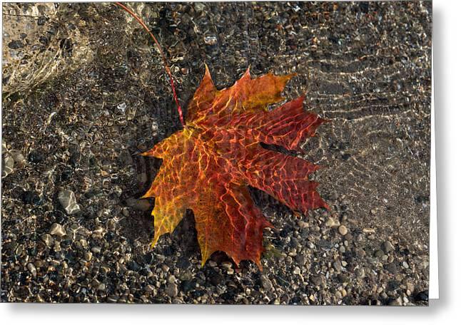 Sand Patterns Greeting Cards - Autumn Colors and Playful Sunlight Patterns - Maple Leaf Greeting Card by Georgia Mizuleva