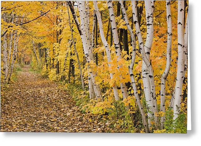 Changing Colour Greeting Cards - Autumn Colours In A Forest Quebec Greeting Card by Jacques Laurent