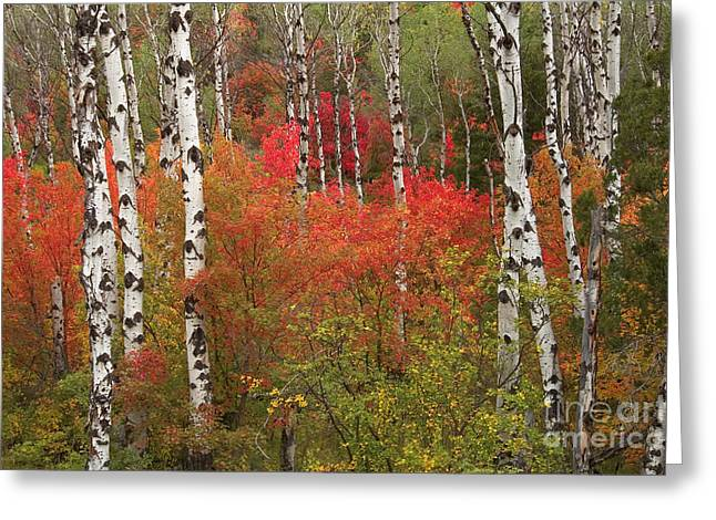 Fall Scenes Greeting Cards - Autumn Comes in Like Fire Changing Aspen Trees Greeting Card by Christopher Boswell