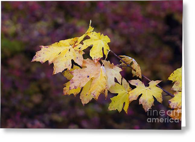 Red Maple Leaves Greeting Cards - Autumn Contrast Greeting Card by Mike  Dawson