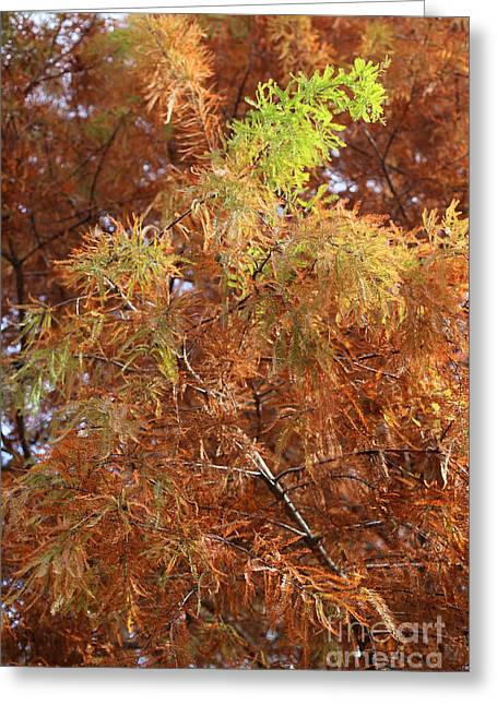 Colors Of Autumn Greeting Cards - Autumn Cypress Leaves Close Up Greeting Card by Carol Groenen