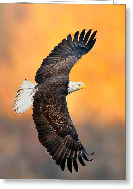 Haliaeetus Leucocephalus Greeting Cards - Autumn Eagle Greeting Card by William Jobes