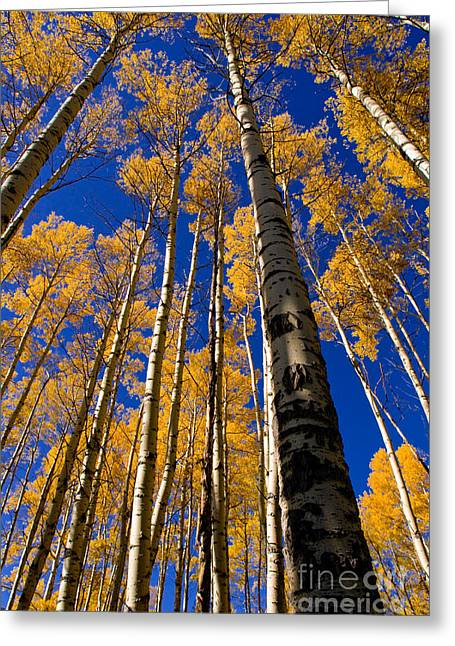 Aspens In Autumn Leaves Greeting Cards - Autumn Golden Aspens Greeting Card by Terry Elniski