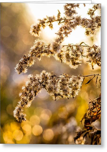 Backlit Prints Greeting Cards - Autumn Goldenrod  Greeting Card by Steve Harrington