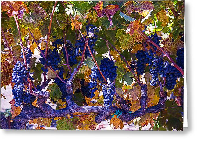 Grape Vineyard Greeting Cards - Autumn Grape Harvest Greeting Card by Garry Gay