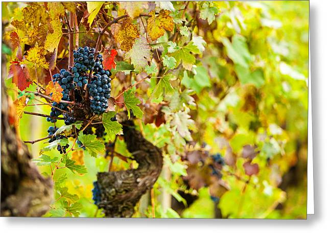Chianti Greeting Cards - Autumn Grape Harvest Season Greeting Card by Susan  Schmitz