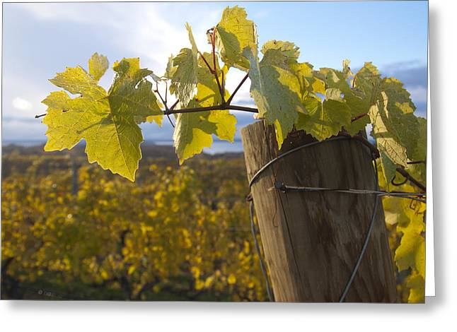 Wine Tour Greeting Cards - Autumn Grape Leaves Greeting Card by Owen Weber