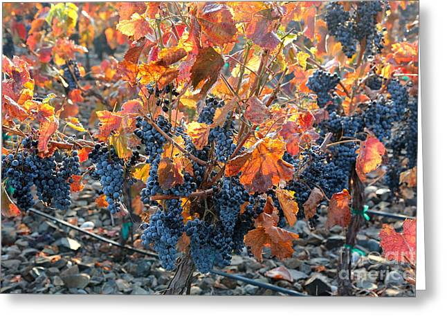 Fruit On The Vine Greeting Cards - Autumn Grapes Greeting Card by Carol Groenen
