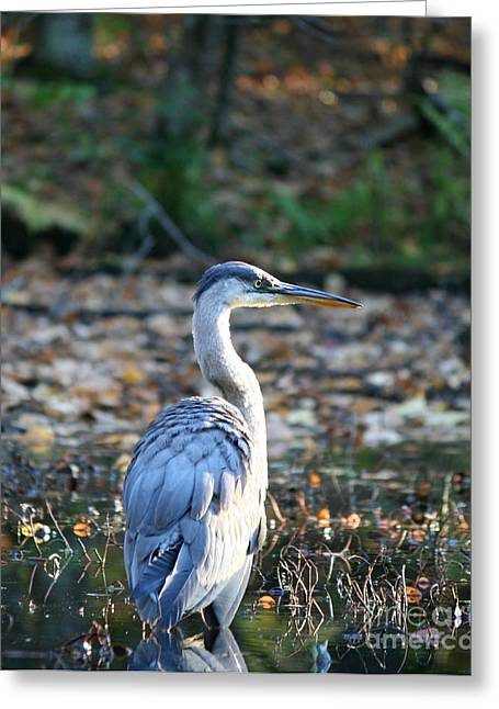 Natures Photos Greeting Cards - Autumn Great Blue Heron  Greeting Card by Neal  Eslinger
