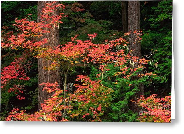Colorful Bark Greeting Cards - Autumn in Mount Rainier Forest Greeting Card by Inge Johnsson