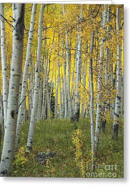 Deciduous Greeting Cards - Autumn in the Aspen Grove Greeting Card by Juli Scalzi