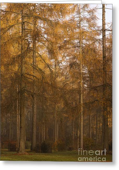 Haze Greeting Cards - Autumn Larch Greeting Card by Anne Gilbert