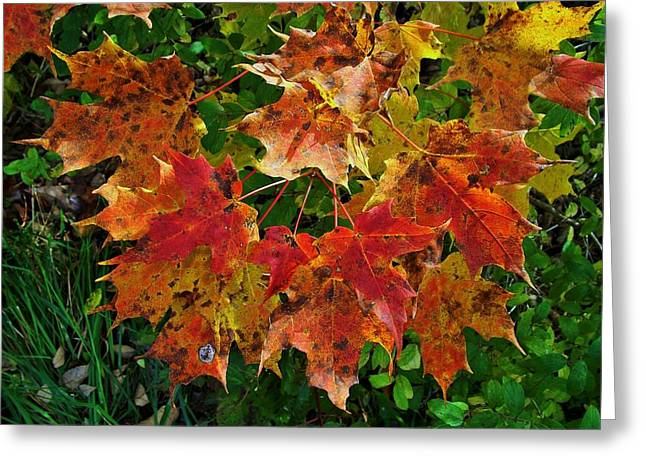 Indiana Autumn Greeting Cards - Autumn Leaf Cluster Greeting Card by Rory Cubel