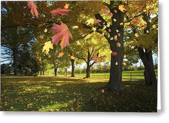 Gatineau Greeting Cards - Autumn Leaves Blowing In The Breeze In Greeting Card by Richard Desmarais