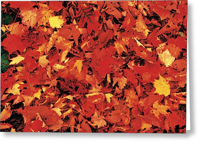 Brightly Colored Greeting Cards - Autumn Leaves Great Smoky Mountains Greeting Card by Panoramic Images