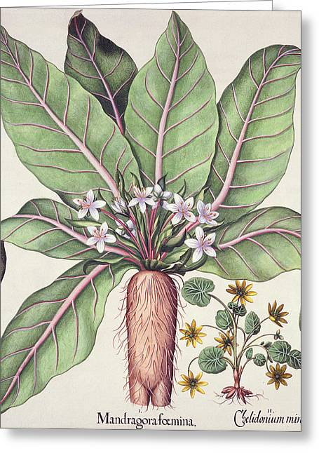 Roots Drawings Greeting Cards - Autumn Mandrake, From The Hortus Greeting Card by German School