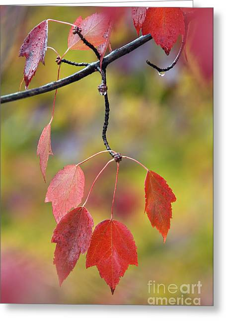 Southern Indiana Autumn Photographs Greeting Cards - Autumn Maple - D008640 Greeting Card by Daniel Dempster