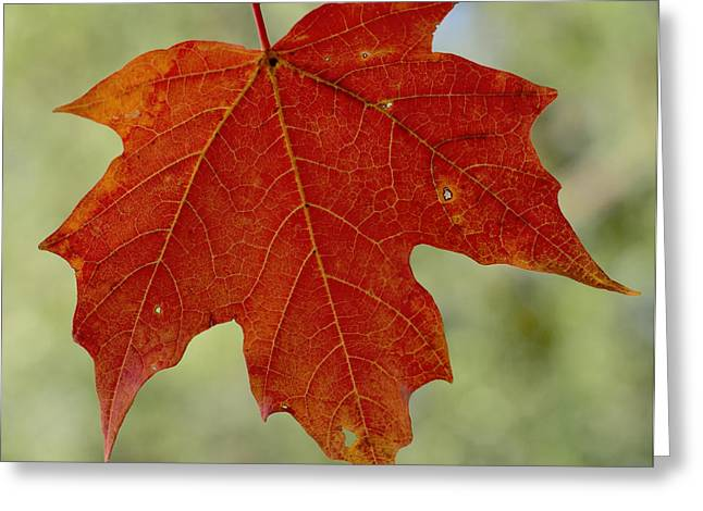 Autumn Maple Leaf Greeting Card by Terry DeLuco
