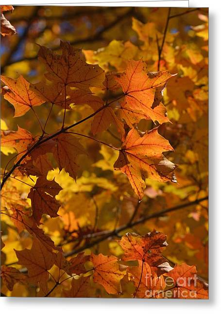 Autumn Maple Leaves 1 Greeting Card by Fiona Craig