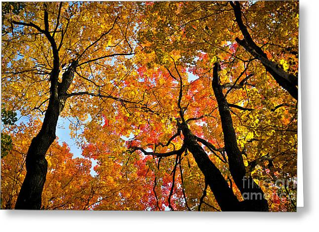 Yellow Leaves Greeting Cards - Autumn maple trees Greeting Card by Elena Elisseeva